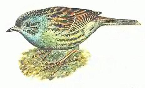 طائر الدنّوك