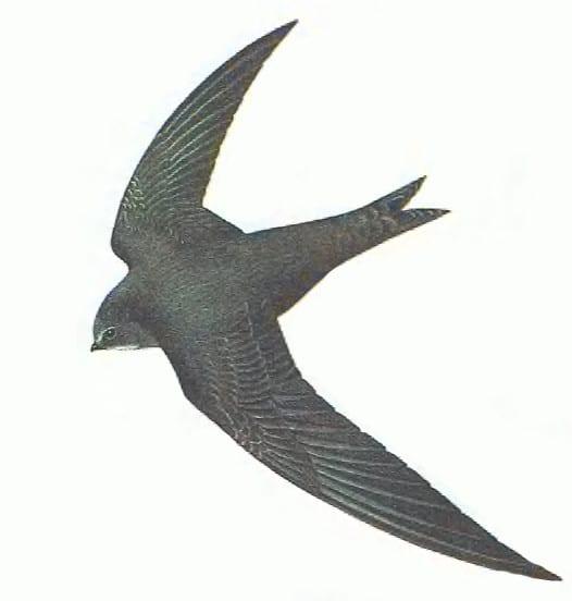 طائر السّمامة