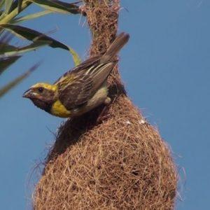كيف تبني الطيور أعشاشها