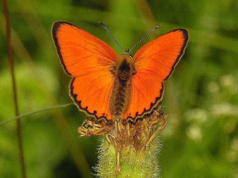الفراشة المبخرة