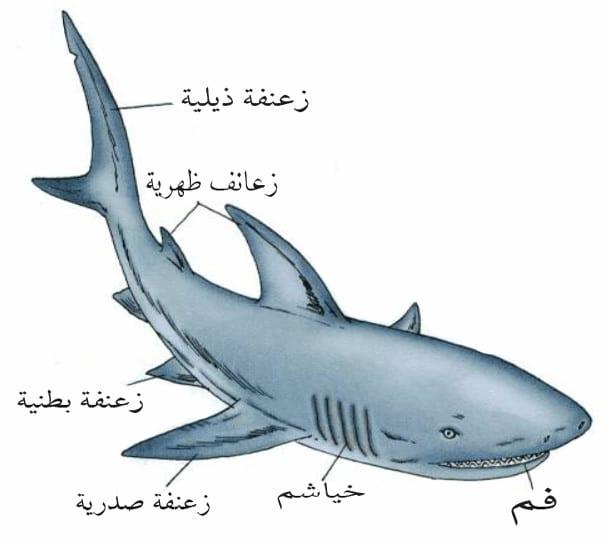 القرش