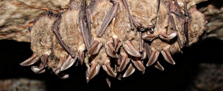 أنواع الخفافيش