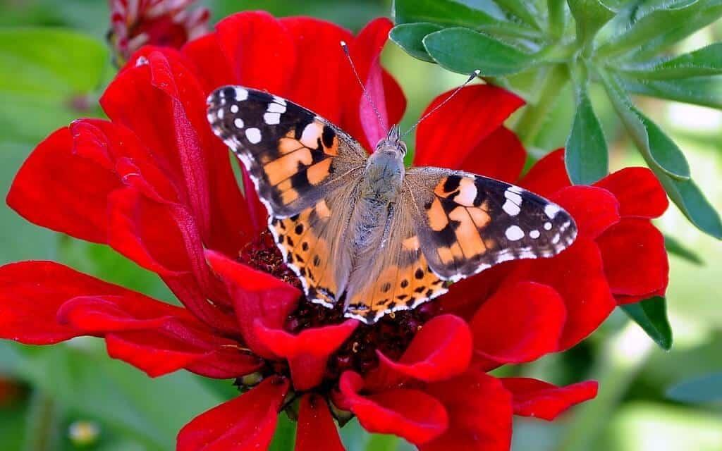أميرة الفراشة الحمراء