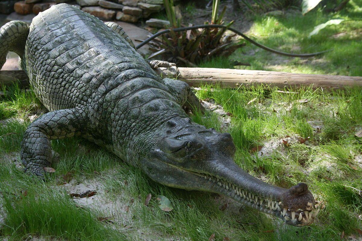 تمساح طويل الأنف