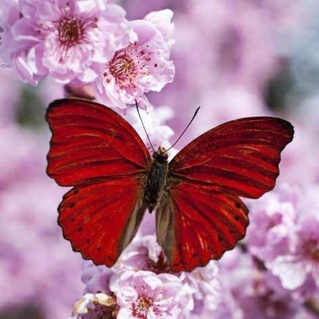 الفراشة الحمراء