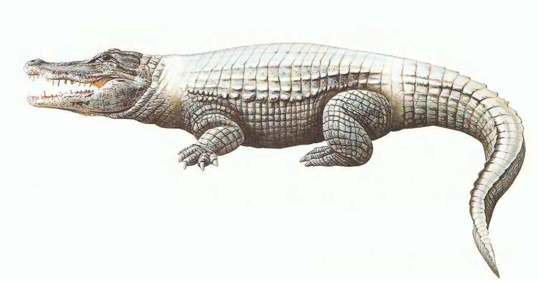 التمساح