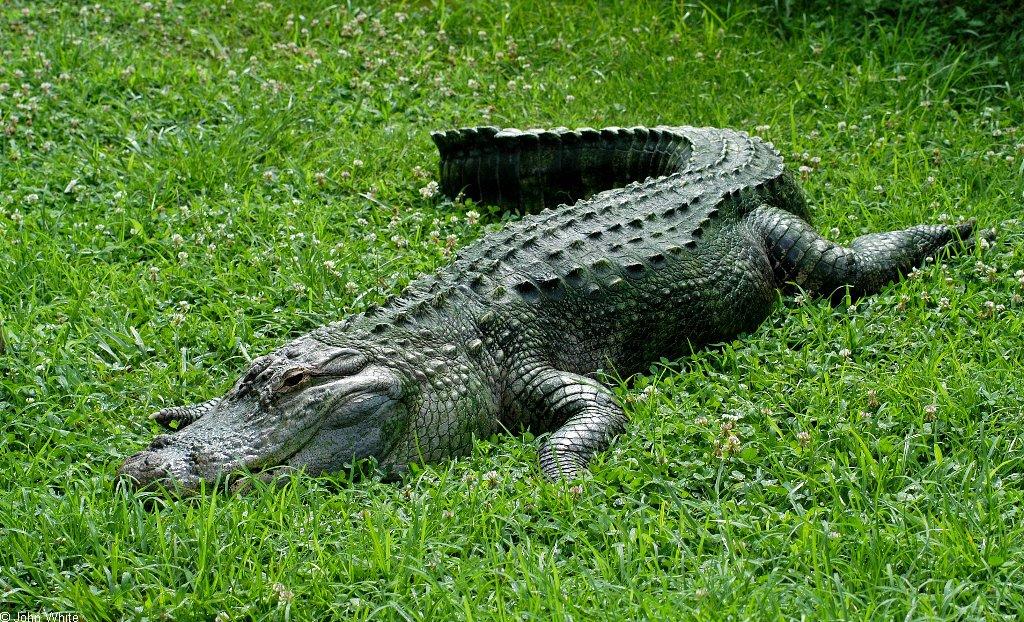 تمساح المستنقعات