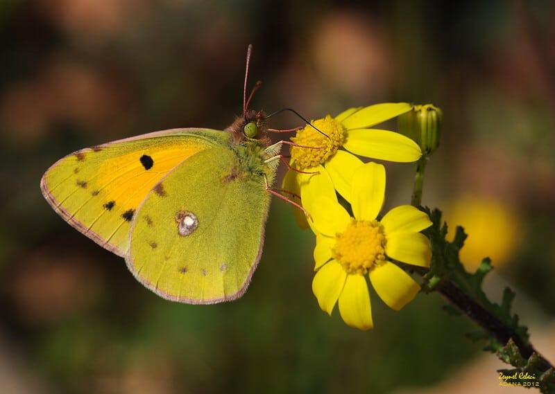 فراشة الجناح الأصفر الكبيرة