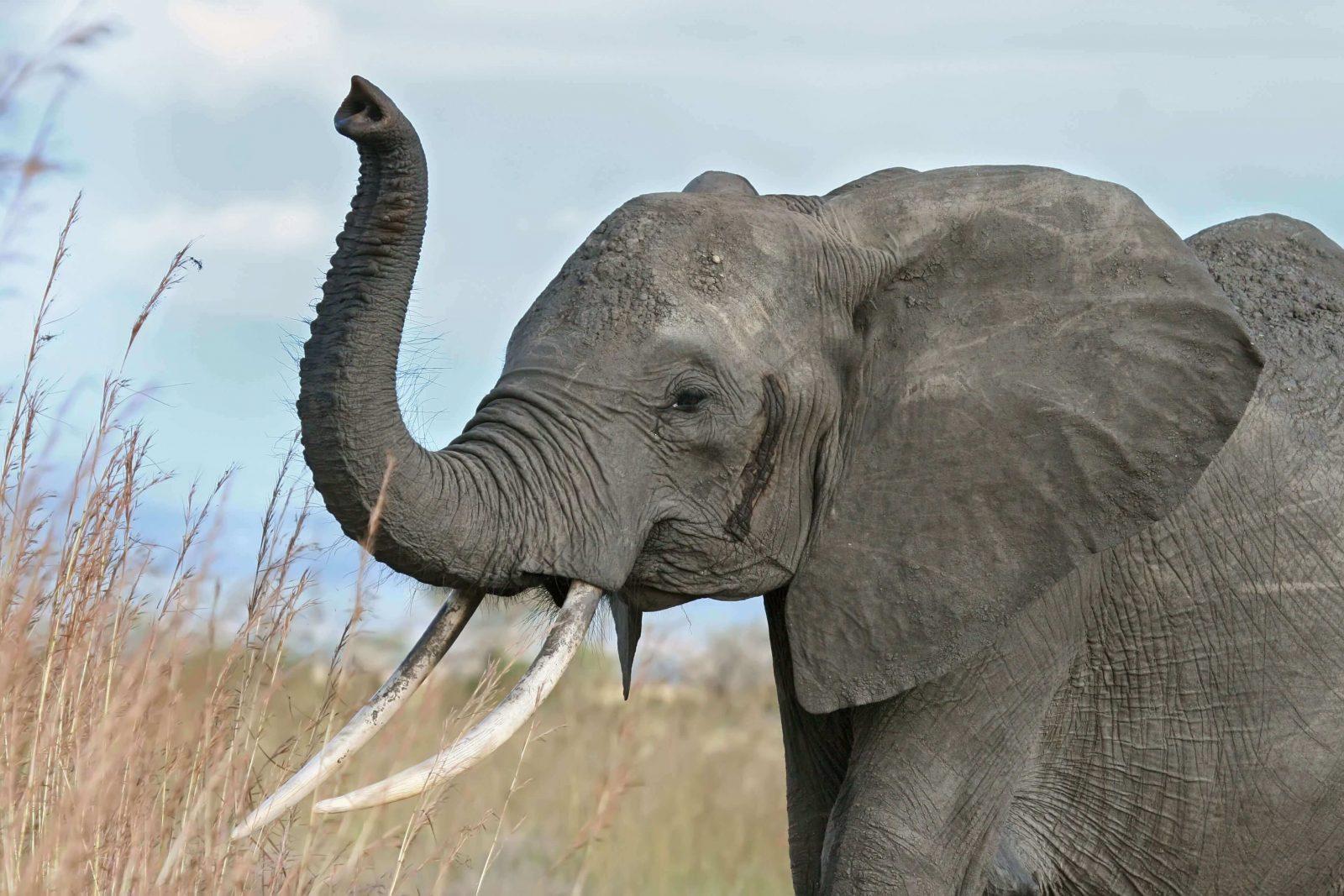 صوت الفيل