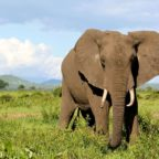 معلومات عن الفيل