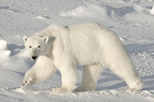 دب قطبي (أبيض)