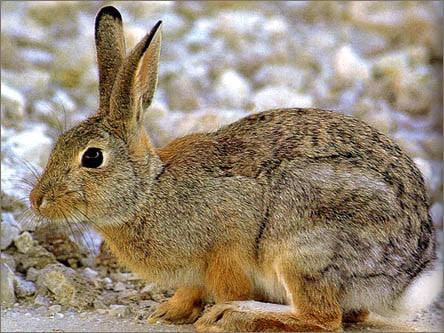 أرنب المستنقعات