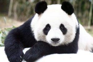 صوت الباندا ومعلومات عنه