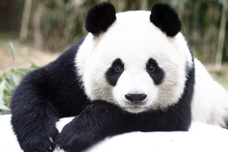 صوت الباندا