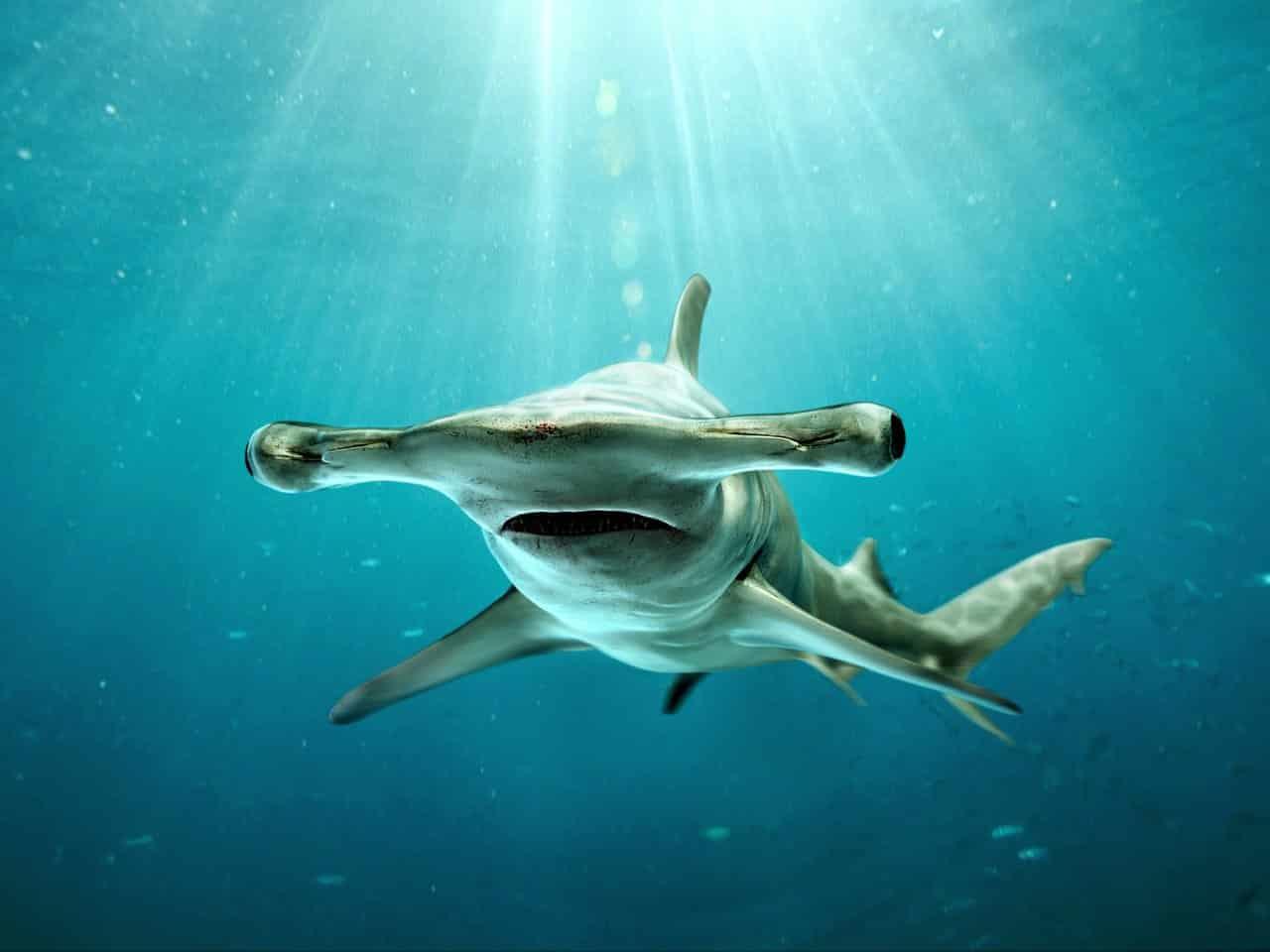القرش أبو مطرقة