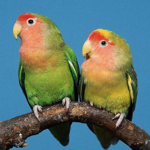 أنواع طيور الحب