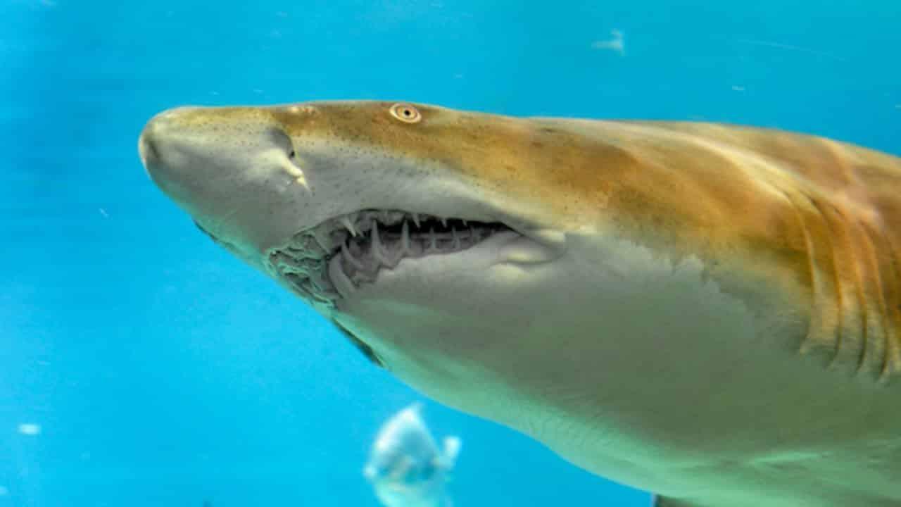 القرش الرملي