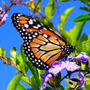 انواع الفراشات واسمائها
