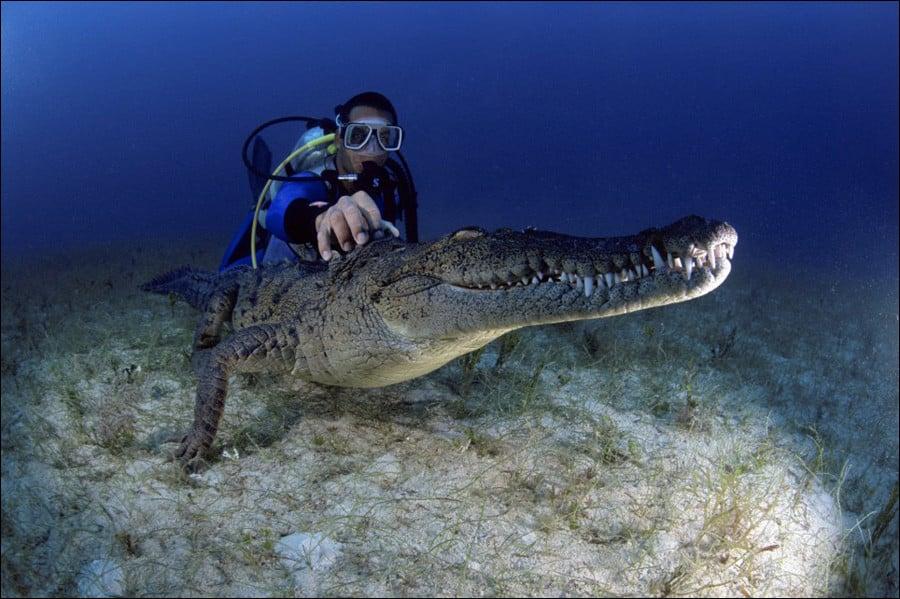 تمساح المياه العذبة الاسترالي