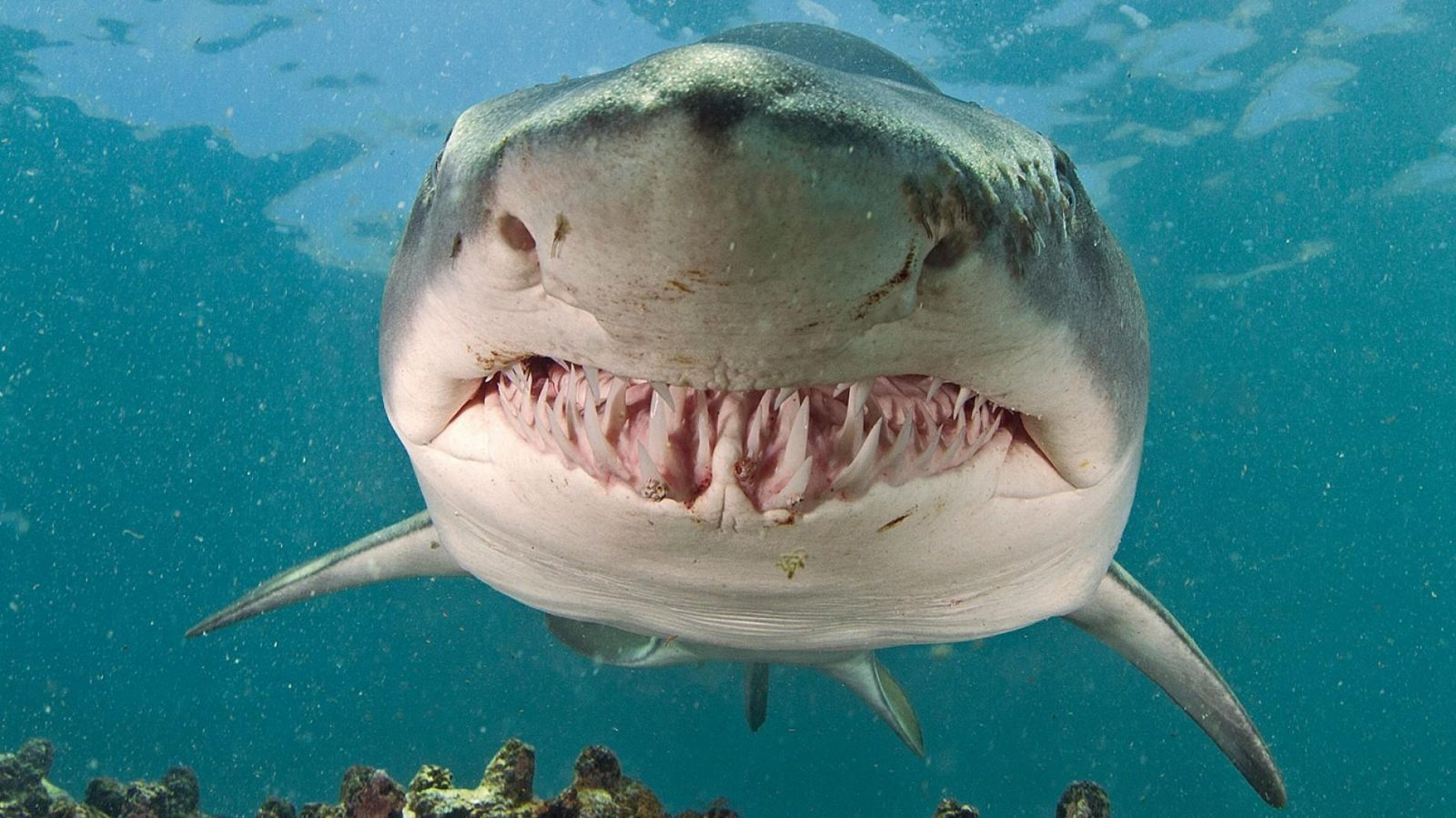 القرش الطحان