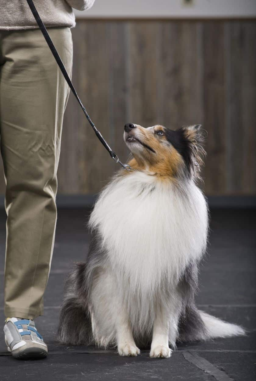 تدريب الكلاب على المقود والجراء