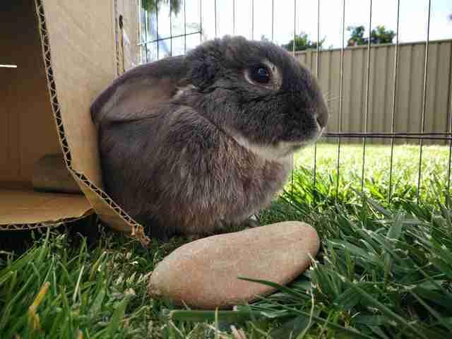 الأرنب صرار