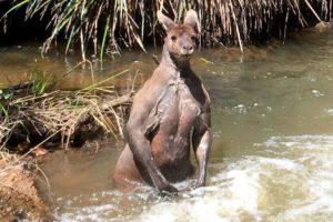 الحيوان الذي لا يشرب الماء