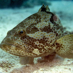 معلومات عن سمك الهامور المهددة بالانقراض