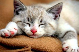 صوت القطط
