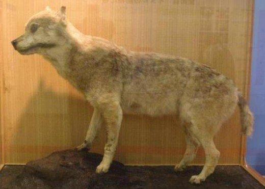 ذئب هونشو