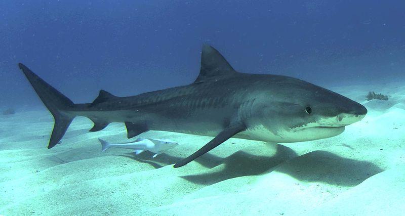 صور سمك القرش