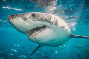 صور سمك القرش أشرس الحيوانات البحرية