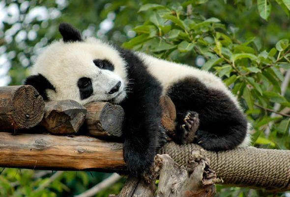 معلومات عن الباندا