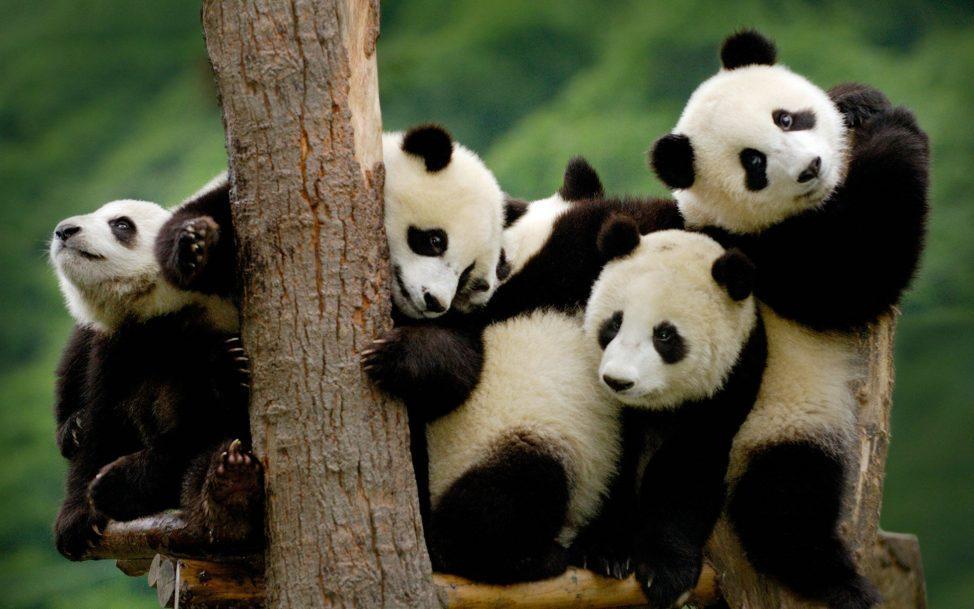 صغار دب الباندا