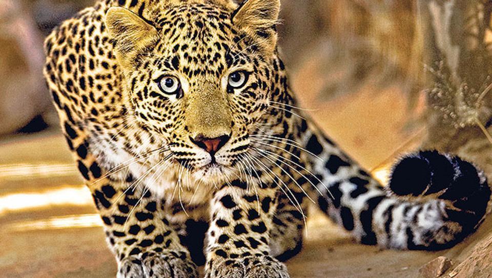 حيوان الفهد