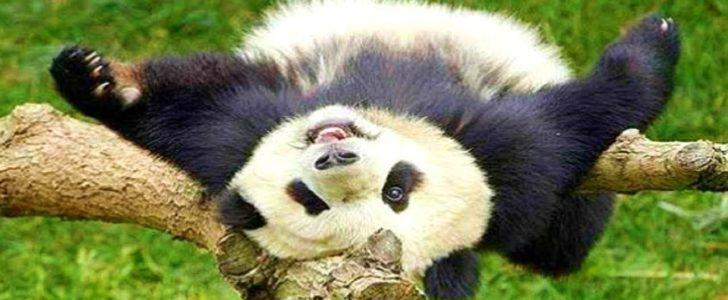 معلومات عن دب الباندا