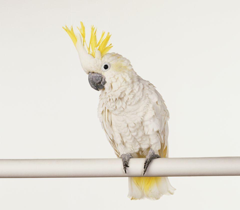 طيور الببغاء الكوكتيل