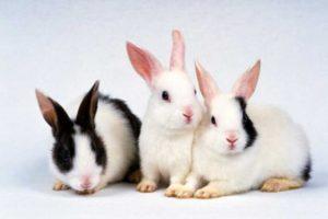 الأرانب الداجنة والأرانب البرية