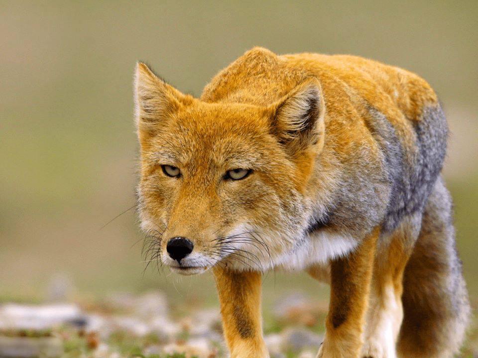 معلومات عن حيوان الثعلب