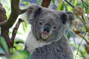 معلومات عن حيوان الكوالا