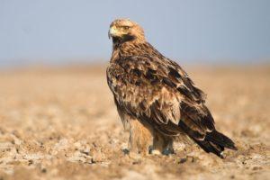 أنواع طيور العقاب