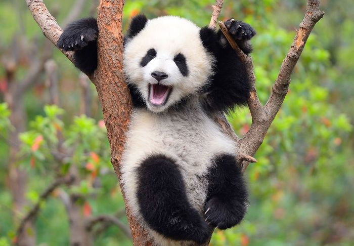 دب الباندا في عالم الحيوان من أظرف و أجمل المخلوقات على وجه الأرض وهو حيوان مهدد بالانقراض