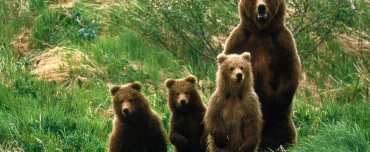 اسم صغير الدب