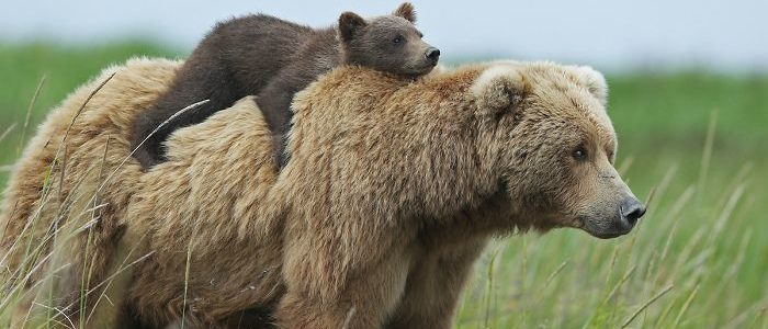 معلومات عن الدببة