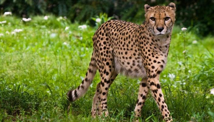 اسرع الحيوانات البرية