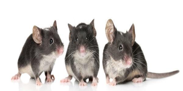 الفئران حيوانات صغيرة