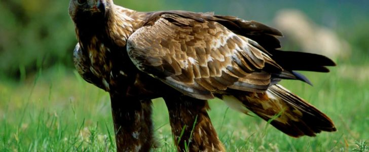 معلومات عن طائر العقاب