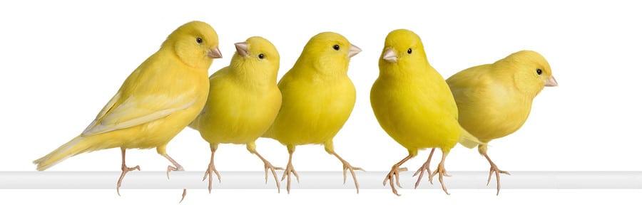 صغار طائر الكناري