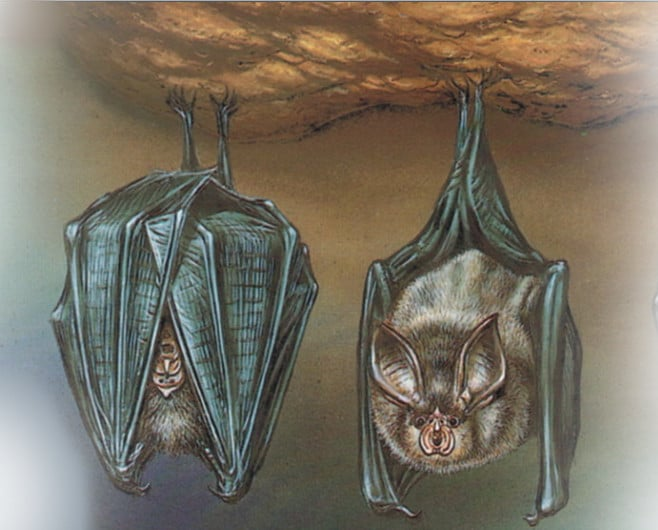 الوطواط