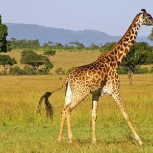 معلومات رائعة عن الزرافة أطول الحيوانات في العالم